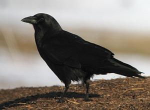 American crow, courtesy of allaboutbirds.org