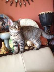 Little Hela is a spunky Aries Warrior Kitteh! She loves hanging out near my collection of hand drums.
