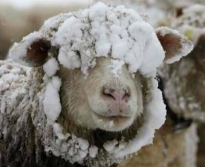 Sheep in central Serbia have to adjust to harsh winters.