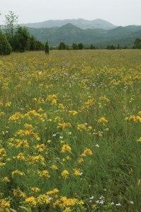 Wild St. John's Wort growing in southern Serbia