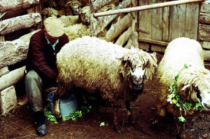 A farmer milking his sheep in Dojkincima, Serbia, on St. George's Day--the start of the milking season. Note the apotropaic flower wreaths on the animals' necks.