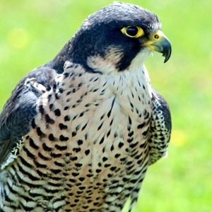 The strikingly beautiful peregrine falcon.
