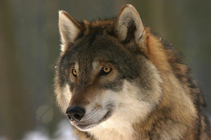 wolf-725380_1920