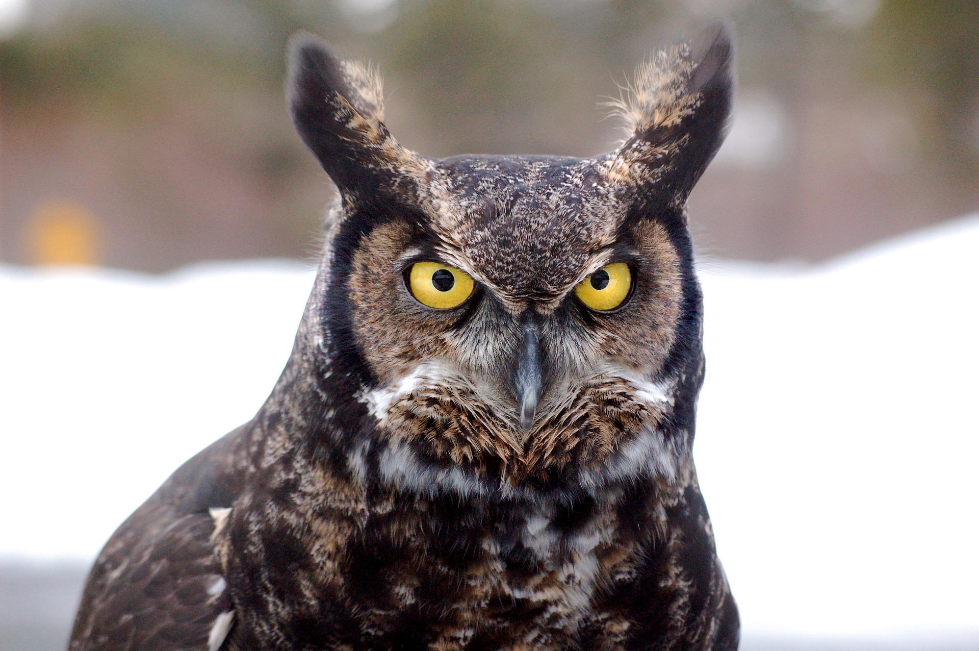great-horned-owl-744357_1920