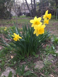 """""""Then my heart with pleasure fills, and dances with the daffodils""""--William Wordsworth"""